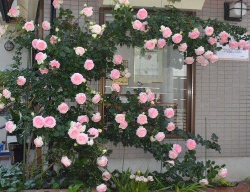 薔薇 ピエールドロンサールが満開。