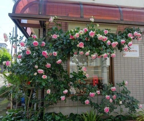 バラが綺麗に咲きました