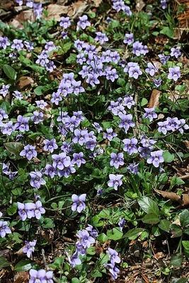 菫タチツボスミレ140405 (87)
