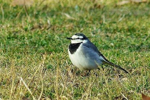 鳥ハクセキレイ180112 (12)
