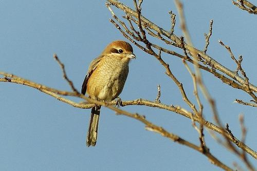 鳥モズ♀?180112 (32)