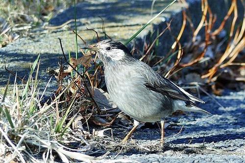 鳥ムクドリ180112 (61)