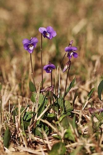 菫ニオイタチツボスミレ200325 (11)