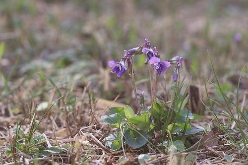 菫ニオイタチツボスミレ200325 (17)