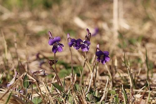 菫ニオイタチツボスミレ200325 (18)