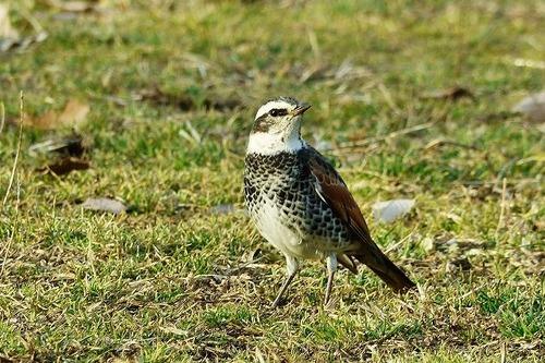 鳥ツグミ180112 (25)