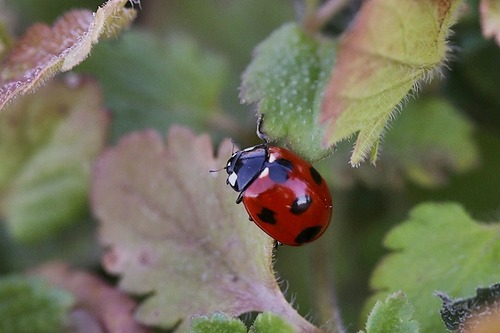 虫ナナホシテントウ180116 (21)