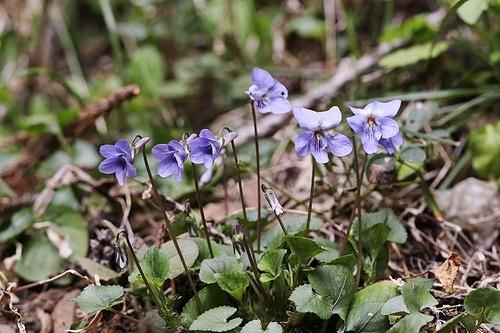 菫タチツボスミレ200326 (2)