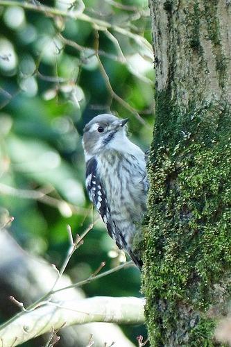 鳥コゲラ180112 (86)