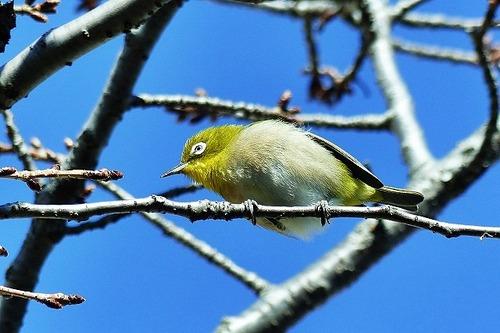鳥メジロ180112 (53)