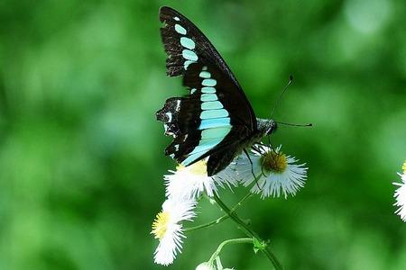 蝶アオスジアゲハ170505 (13)