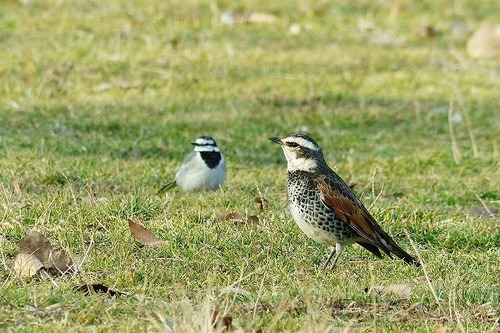 鳥ハクセキレイ&ツグミ180112 (20)