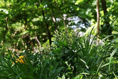 蘭キンラン白花?170505 (6)