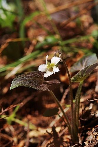 菫タカオスミレ白花200326 (6)