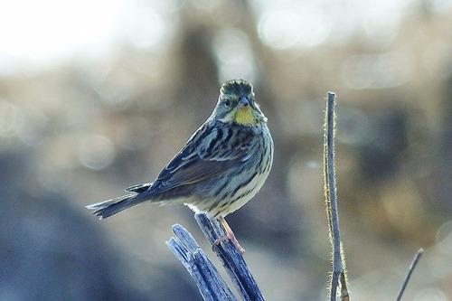 鳥アオジ?180112 (72)