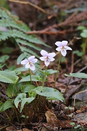 菫ナガバノスミレサイシン200325 (13)