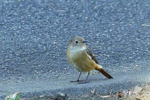 鳥ジョウビタキ♀180112 (39)