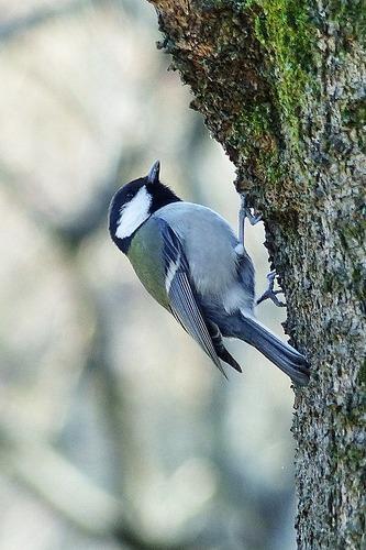 鳥シジュウカラ180112 (80)
