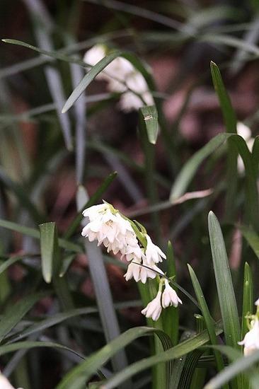 オオバジャノヒゲ白花170714 (67)