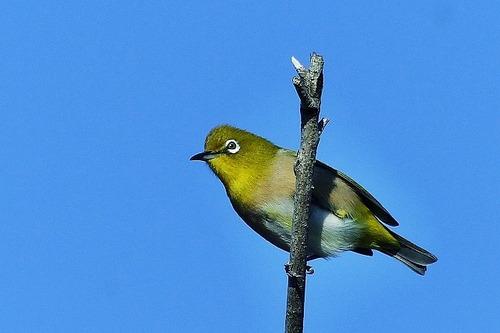 鳥メジロ180112 (63)