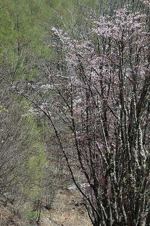 桜オオヤマザクラ?170512 (2)