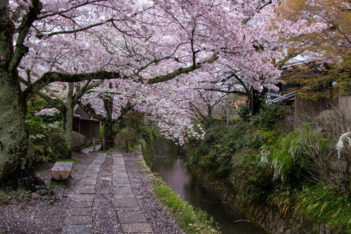京都・左京区・哲学の道20170412-3