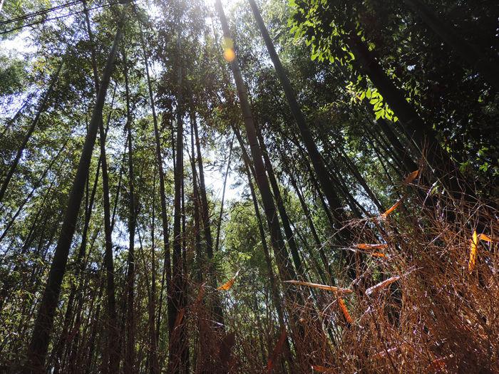 京都嵐山竹林の道4