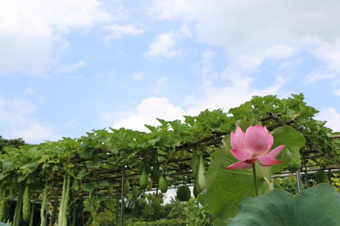 京都・左京区・京都府立植物園20160818-7