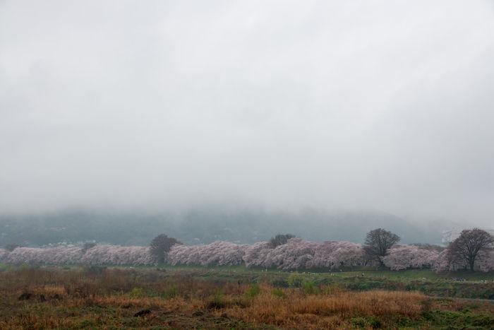 京都・八幡市・淀川河川公園背割堤地区20170408-6