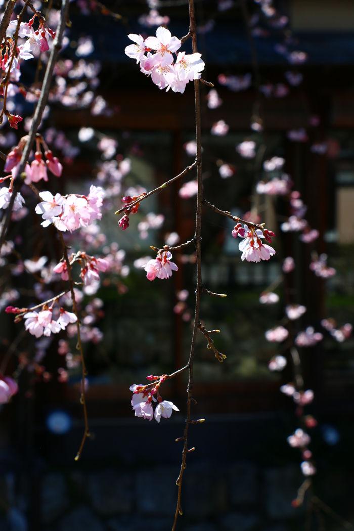 京都・東山区・祇園白川20160321-5