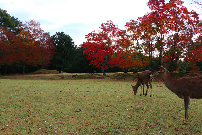 奈良・奈良市・奈良公園20141104-7