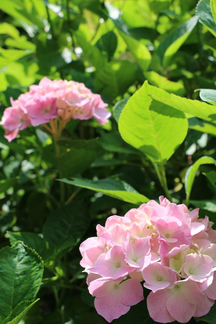 京都・左京区・京都府立植物園20160606-6