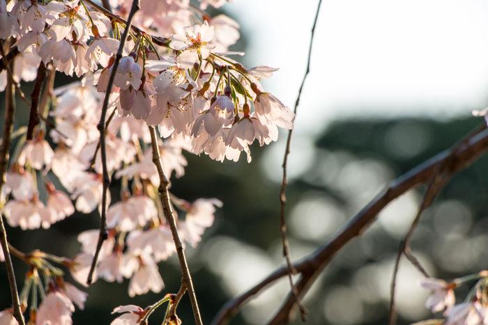 京都・上京区・京都御苑20170401-2