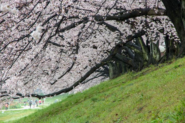 京都・八幡市・淀川河川公園背割堤地区20170408-3