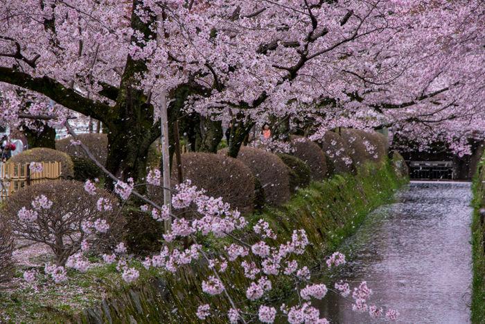 京都・左京区・哲学の道20170412-9