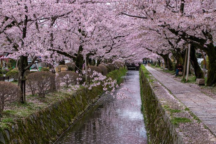 京都・左京区・哲学の道20170412-10