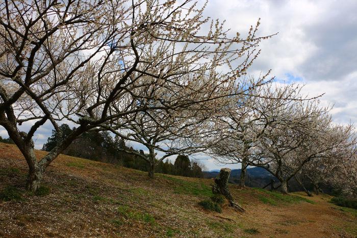 奈良・奈良市・月ケ瀬梅渓20160311-15