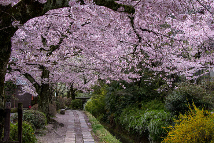 京都・左京区・哲学の道20170412-7