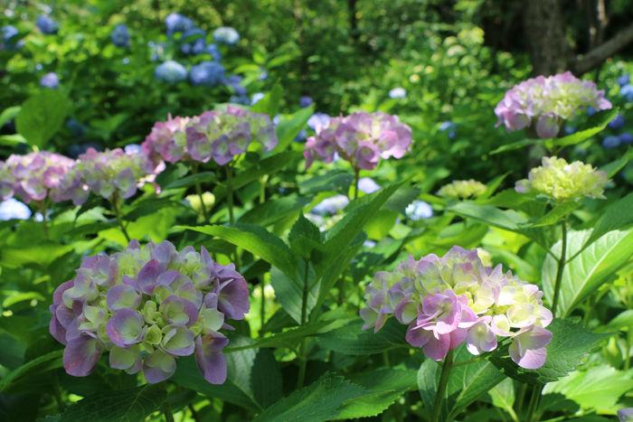 京都・左京区・京都府立植物園20160606-11