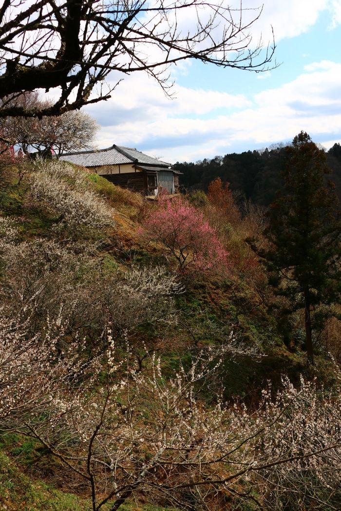 奈良・奈良市・月ケ瀬梅渓20160311-4
