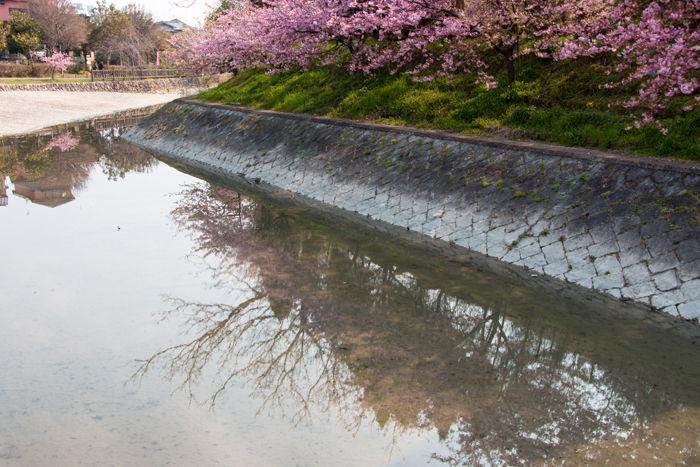 京都・伏見区・淀の河津桜:淀緑地公園20170319-10