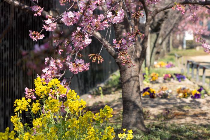 京都・伏見区・淀の河津桜:淀緑地公園20170308-3