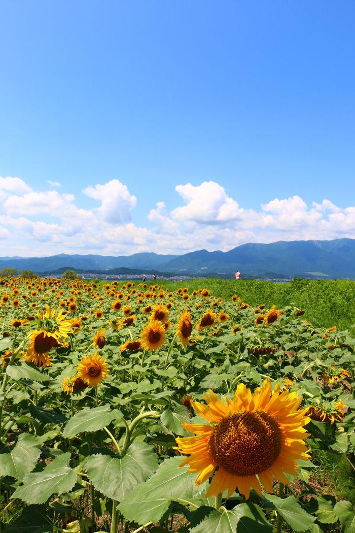 滋賀・守山市・なぎさ公園20160729-2
