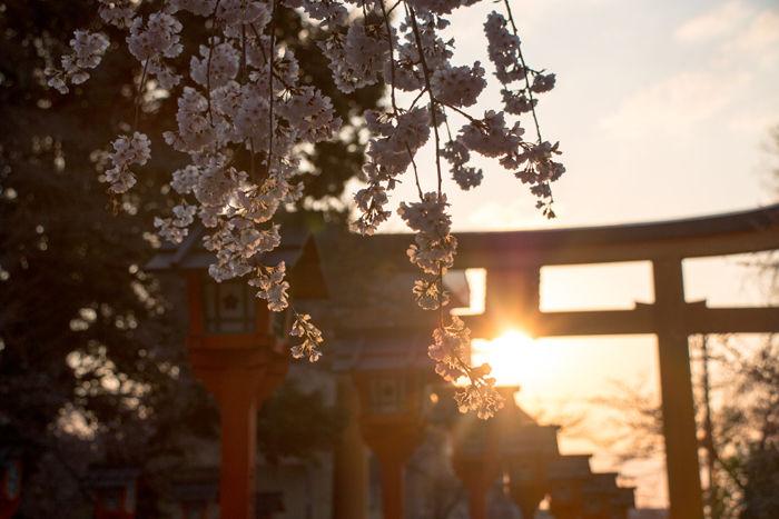 京都・北区・平野神社20170404-4