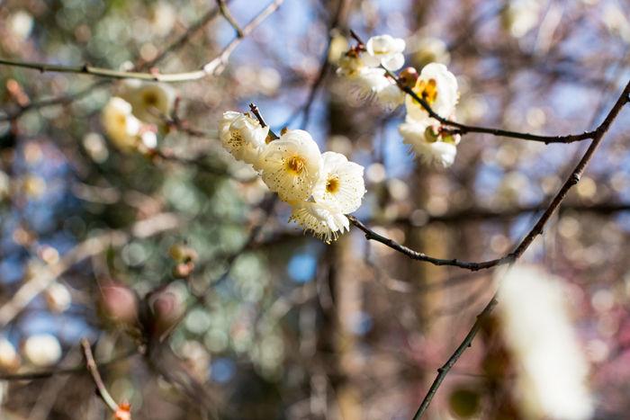 京都・左京区・京都府立植物園20170128-1