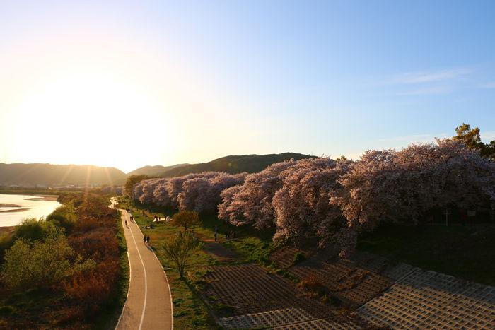京都・八幡市・淀川河川公園背割堤地区20160405-16