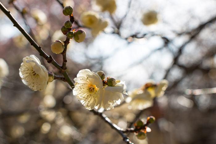 京都・左京区・京都府立植物園20170128-3