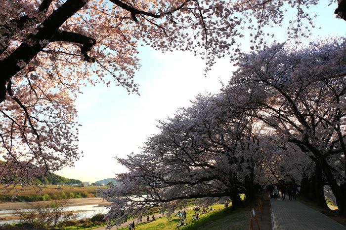 京都・八幡市・淀川河川公園背割堤地区20160405-13