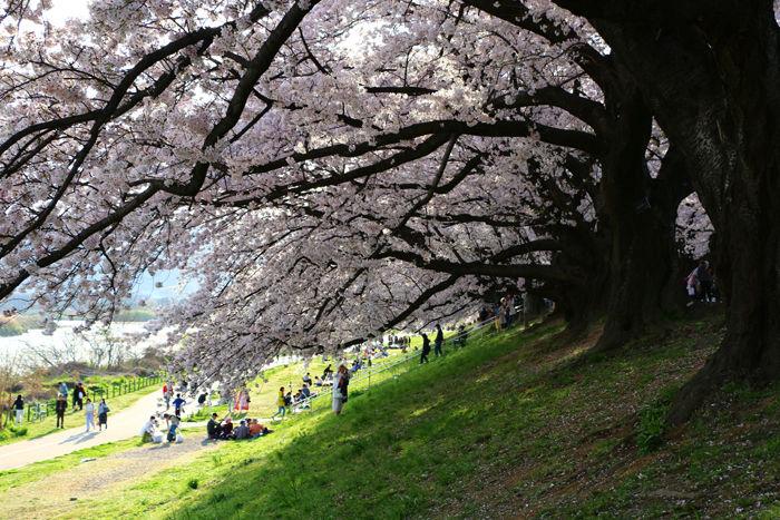 京都・八幡市・淀川河川公園背割堤地区20160405-4