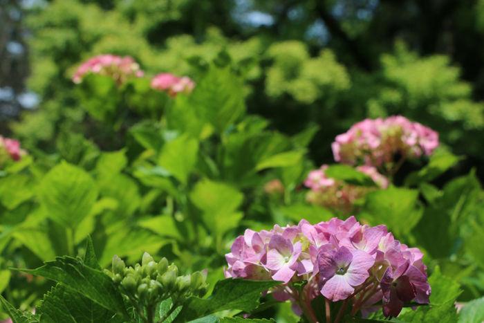 京都・左京区・京都府立植物園20160606-8